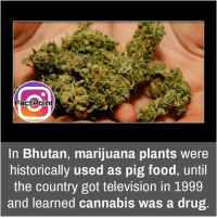 Memes, Bhutan, and 🤖: FactPoint  In Bhutan, marijuana plants were  historically used as pig food, until  the country got television in 1999  and learned cannabis was a drug Follow our page for more Facts 😇 Don't forget to tag your friends 💖