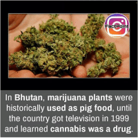 Facts, Food, and Friends: FactPoint  In Bhutan, marijuana plants were  historically used as pig food, until  the country got television in 1999  and learned cannabis was a drug That's interesting 😜 did you know fact point , education amazing dyk unknown facts daily facts💯 didyouknow follow follow4follow earth science commonsense f4f factpoint instafact awesome world worldfacts like like4ike tag friends Don't forget to tag your friends 👍