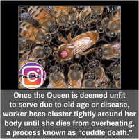 "Memes, 🤖, and Page: FactPoint  Once the Queen is deemed unfit  to serve due to old age or disease  worker bees cluster tightly around her  body until she dies from overheating,  a process known as ""cuddle death."" Follow our page for more Facts 😇 Don't forget to tag your friends 💖"