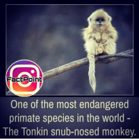 🚨 😭: FactPoint  One of the most endangered  primate species in the world  The Tonkin snub-nosed monkey 🚨 😭