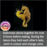 did you know fact point , education amazing dyk unknown facts daily facts💯 didyouknow follow follow4follow f4f factpoint instafact awesome world worldfacts like like4ike tag friends Don't forget to tag your friends 🤘: FactPoint  Seahorses dance together for over  8 hours before mating. During the  dance they hold each other's tails  swim in unison and change color. did you know fact point , education amazing dyk unknown facts daily facts💯 didyouknow follow follow4follow f4f factpoint instafact awesome world worldfacts like like4ike tag friends Don't forget to tag your friends 🤘