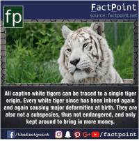 Facts, Friends, and Memes: FactPoint  source: factpoint.net  All captive white tigers can be traced to a single tiger  origin. Every white tiger since has been inbred again  and again causing major deformities at birth. They are  also not a subspecies, thus not endangered, and only  kept around to bring in more money. Fact sources mentioned at www.FactPoint.net- did you know fact point , education amazing dyk unknown facts daily facts💯 didyouknow follow follow4follow earth science commonsense f4f factpoint instafact awesome world worldfacts like like4ike tag friends Don't forget to tag your friends 👍