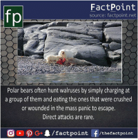 That's nice tactics for prey 🐻: FactPoint  source: factpoint.net  Polar bears often hunt walruses by simply charging at  a group of them and eating the ones that were crushed  or wounded in the mass panic to escape.  Direct attacks are rare. That's nice tactics for prey 🐻