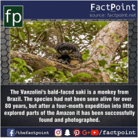 Alive, Amazon, and Facts: FactPoint  source: factpoint.net  The Vanzolini's bald-faced saki is a monkey from  Brazil. The species had not been seen alive for over  80 years, but after a four-month expedition into little  explored parts of the Amazon it has been successfully  found and photographed. Fact sources mentioned at www.FactPoint.net- did you know fact point , education amazing dyk unknown facts daily facts💯 didyouknow follow follow4follow earth science commonsense f4f factpoint instafact awesome world worldfacts like like4ike tag friends Don't forget to tag your friends 👍