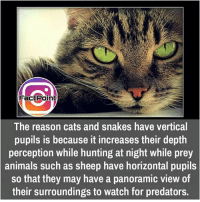 Animals, Cats, and Facts: FactPoint  The reason cats and snakes have vertical  pupils is because it increases their depth  perception while hunting at night while prey  animals such as sheep have horizontal pupils  so that they may have a panoramic view of  their surroundings to watch for predators. That's scary 😯 did you know fact point , education amazing dyk unknown facts daily facts💯 didyouknow follow follow4follow earth science commonsense f4f factpoint instafact awesome world worldfacts like like4ike tag friends Don't forget to tag your friends 👍