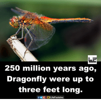 dragonfly: FACTS  250 million years ago,  Dragonfly were up to  three feet long.