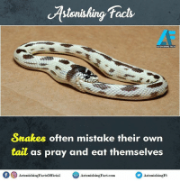 OMG 😯😲 rvcjinsta snake: facts  ASTONISHING FACTS  Snakes often mistake their own  tait as pray and eat themselves  f CO  Astonishing Factsofficial  Astonis  Astonis  hingFact.com.  hingFt OMG 😯😲 rvcjinsta snake