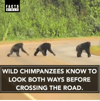 Facts, Memes, and Bible: FACTS  BIBLE  WILD CHIMPANZEES KNOW TO  LOOK BOTH WAYS BEFORE  CROSSING THE ROAD Amazing 😎