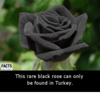 Memes, 🤖, and Black Rose: FACTS  FACTORY  This rare black rose can only  be found in Turkey.