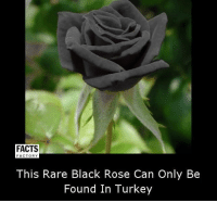 Facts, Memes, and Black: FACTS  FACTORY  This Rare Black Rose Can Only Be  Found In Turkey