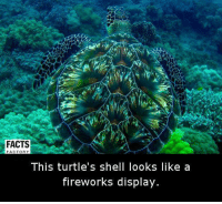 Memes, Fireworks, and 🤖: FACTS  FACTORY  This turtle's shell looks like a  fireworks display.