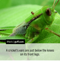 Facts Cricket Ears Legs Hear Music: @facts I guff com  A cricket's ears are just below the knees  on its front legs. Facts Cricket Ears Legs Hear Music
