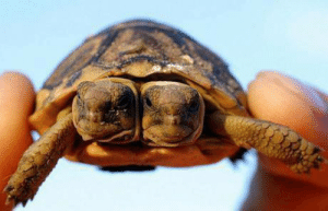 """Facts, Target, and Tumblr: facts-i-just-made-up:  cocktormedick:  facts-i-just-made-up:  Mated turtles share their shells! Not always but often when a pair of turtles mates, the male will leave his own shell and move in with the female. After doing so the couple will coordinate their arm and leg movements to walk and even swim.  I call this """"Trying to get notes with false facts.""""  I assure you, Facts-I-Just-Made-Up would never post false facts just to get notes. I also do it to confuse, misinform, and hurt people."""