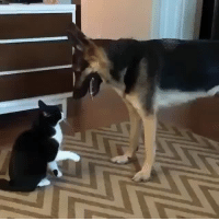 "facts-trump-feelings:  toujours-fidele:  catgirl9696:  uglyassbitch42:  elliehopaunt: worth watching for the end  yo what tHE FUCK ¡   Interesting fact these two are playing but they are using play behaviors of their own species so they dont really ""match up""! Dog - is ""bowing"" and using open mouth ""bites"" as forms of play  ""Play fight with me!"" Cat - is giving the little paw bats they use when playing with kittens ""Cute kittens get booped!"" They are both trying to engage the other in a playful way but not understanding the others responce. The dog is like ""you smack so no play? but not hard smack and no bad noise so not angry?"" The cat is like ""why you jump around? open mouth but no chomp? no hiss so is okay?"" And then they sort of settle with a kind of communal grooming gesture they both understand! Dog: no play? okay i lay… we calm now friend! Cat: sad? no play? is ok i luv u weird kitten!   sdjaslkdjaskldjaskldja this is the most adorable thing  I've reblogged this before, but I'm reblogging it again because it's too cute not to. : facts-trump-feelings:  toujours-fidele:  catgirl9696:  uglyassbitch42:  elliehopaunt: worth watching for the end  yo what tHE FUCK ¡   Interesting fact these two are playing but they are using play behaviors of their own species so they dont really ""match up""! Dog - is ""bowing"" and using open mouth ""bites"" as forms of play  ""Play fight with me!"" Cat - is giving the little paw bats they use when playing with kittens ""Cute kittens get booped!"" They are both trying to engage the other in a playful way but not understanding the others responce. The dog is like ""you smack so no play? but not hard smack and no bad noise so not angry?"" The cat is like ""why you jump around? open mouth but no chomp? no hiss so is okay?"" And then they sort of settle with a kind of communal grooming gesture they both understand! Dog: no play? okay i lay… we calm now friend! Cat: sad? no play? is ok i luv u weird kitten!   sdjaslkdjaskldjaskldja this is the most adorable thing  I've reblogged this before, but I'm reblogging it again because it's too cute not to."