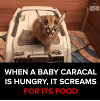 The cutest species out there! via - JukinMedia: FACTS!!!  WHEN A BABY CARACAL  IS HUNGRY IT SCREAMS  FOR ITS FOOD The cutest species out there! via - JukinMedia