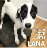 LANA IS READY TO ADOPT 💕 Introducing #Lana, one of beautiful Momma Ladonna's precious puppies. Apply to adopt her and read this family's story here: https://goo.gl/j9KQo8  This young family arrived to NYBC with the #PR55 rescue transport.  Lana is as sweet as sugar and can't wait to find her furever home. Please apply to adopt this angel face today!!   #LadonnaNYBC #LanaNybc #nybcpr #nybc #newyorkbullycrew #adoptdontshop #speakingfortheoneswhocant   #HelpUsHelpThem: FALL IN  LOVE  WITH  LANA LANA IS READY TO ADOPT 💕 Introducing #Lana, one of beautiful Momma Ladonna's precious puppies. Apply to adopt her and read this family's story here: https://goo.gl/j9KQo8  This young family arrived to NYBC with the #PR55 rescue transport.  Lana is as sweet as sugar and can't wait to find her furever home. Please apply to adopt this angel face today!!   #LadonnaNYBC #LanaNybc #nybcpr #nybc #newyorkbullycrew #adoptdontshop #speakingfortheoneswhocant   #HelpUsHelpThem