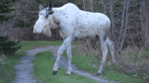 fallendeckerstar: vaspider:  lilli-sturmreiter:  winneganfake: When you see the Ghost Moose, you don't stop to ask questions. You run. Megafauna, especially SPECTRAL MEGAFAUNA are not to be trifled with.  the true ruler of canada  HELLO MAGIC FRIEND   : fallendeckerstar: vaspider:  lilli-sturmreiter:  winneganfake: When you see the Ghost Moose, you don't stop to ask questions. You run. Megafauna, especially SPECTRAL MEGAFAUNA are not to be trifled with.  the true ruler of canada  HELLO MAGIC FRIEND