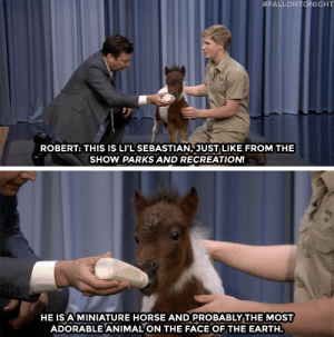 Robert Irwin introduces us to Li'l Sebastian 2.0!:  #FALLONTONIGHT  ROBERT: THIS IS LI'L SEBASTIAN, JUST LIKE FROM THE  SHOW PARKS AND RECREATION!  HE IS A MINIATURE HORSE AND PROBABLY THE MOST  ADORABLE ANIMAL ON THE FACE OFTHE EARTH Robert Irwin introduces us to Li'l Sebastian 2.0!