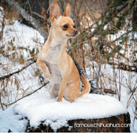 "Meet Doug, a spunky applehead Chihuahua from Edson, Alberta, Canada! Doug has a wild side that keeps his mommy on her toes, but that's what makes him so uniquely wonderful! Today he became a Famous Chihuahua! Check out his famous feature at http://www.famouschihuahua.com/featured-chihuahuas/doug/ "" Congrats little man!"" #famouschihuahua #celebritypet #famousdog: famouschihuahua.co Meet Doug, a spunky applehead Chihuahua from Edson, Alberta, Canada! Doug has a wild side that keeps his mommy on her toes, but that's what makes him so uniquely wonderful! Today he became a Famous Chihuahua! Check out his famous feature at http://www.famouschihuahua.com/featured-chihuahuas/doug/ "" Congrats little man!"" #famouschihuahua #celebritypet #famousdog"