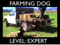 Memes, Border Collie, and Farming: FARMING DOG  LEVEL: EXPERT Love it!!! Wish our border collie did this lol 😂