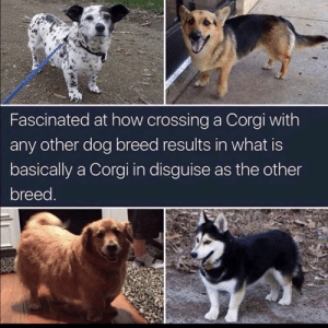 Corgi, Love, and Tumblr: Fascinated at how crossing a Corgi with  any other dog breed results in what is  basically a Corgi in disguise as the other  breed. awesomacious:  Love them or hate them, corgi mixes are spy corgis