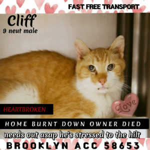 Cats, Click, and Fire: FAST FREE TRANSPORT  Cliff  9 neut male  HEARTBROKEN  HOME BuRNT DOWN OWNER DIED  needs out asap he's stresed to the hilt  BROOKLYN ACC 58653 BROOKLYN ACC ADOPTABLE   *QUEENS HOUSE FIRE CAT, OWNER DIED*  Cliff 58653   9 yr. neutered orange tabby/white  BEHAVIOR:  ENRICHMENT NOTES:  03/31/19 Laying in the back of his kennel when approached Cliff begins to meow softly. When approached he will remain still, but warms up quickly and will come forward to solicit attention. Super sweet and doing great!    MEDICAL:  6 lbs 6.4 oz  Date of Weighing:   3/30/2019    Vet Treatments:  3/30/2019 Re-weigh  3/30/2019 Microchip Implantation #985113002544172  3/30/2019 Gabapentin (200 Mg/Ml)  3/30/2019 Flea/Tick Treatment - Paradefense  3/30/2019 Internal Parasite Treatment - Pyrantel  3/30/2019 FeLV/FIV Snap Negative  3/30/2019 Fvr-Cp 1 Of 2  3/30/2019 Rabies SQ     Vet Treatments Due:  4/13/2019 Fvr-Cp 1 Of 2  4/13/2019 Internal Parasite Treatment - Pyrantel  4/13/2019 Re-weigh  4/30/2019 Flea/Tick Treatment - Paradefense  3/30/2020 Rabies     Medications:  Fluids - LRS SQ 75 ml SQ SID every 1 day(s)  31-Mar-2019  1-Apr-2019  VET-P 991438  Vitamin B12 INJ SQ 0.25ml once  31-Mar-2019 VET 991619  Fortiflora (probiotic supplement) PO 1 pack in food PO every 1 day(s)  31-Mar-2019  3-Apr-2019  VET 991619  Vet Consultations:  31-Mar-2019  Other Lab Interpretation  Vet Notes: 4:53 PM  UA - Protein may be associated with cysto  Leukocytes potentially spurious  Insufficent concentration - R/O early renal failure vs s/p SQ fluid administration earlier in the day  Recommend recheck when adopted  VET 991619  31-Mar-2019  Tech Exam  L V T Notes: 3:37 PM  UA complete. All values normal/negative with the following exceptions: Protein = +30 Leuk = +500  pH =5 SG on refractometer = 1.034  LVT-E 991059  31-Mar-2019  31-Mar-2019  Progress Exam  Vet Notes: 2:39 PM  Hx: Intake 3/30, diagnosed with Dehydration, Dental disease and Underweight treated with SQ fluids  CBC Neutrophili