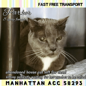 "Apparently, Cats, and Click: FAST FREE TRANSPORT  Teniale  abandoned house cat left for dead  sitting patiently waiting for hepnumbep to be called  sitting patiently waitina for her number to be called  MANHATTAN ACC 58293 MANHATTAN ACC ADOPTABLE  INTAKE 3/27/19   *Abandoned house cat*  PARKER 58293  8 yr Gray/White, Spayed Female  Vet Treatments:   3/26/2019  Gabapentin (200 Mg/Ml)     3/26/2019  Flea/Tick Treatment - Paradefense     3/26/2019  Internal Parasite Treatment - Pyrantel     3/26/2019  Fvr-Cp 1 Of 2     3/27/2019  Re-weigh     3/27/2019  Microchip Implantation     3/27/2019  FeLV/FIV Snap   Negative  3/27/2019  Rabies  SQ  Medications:   Vitamin B12 INJ  0 ml  SQ  0.25 once  27-Mar-2019  27-Mar-2019  1  VET 991379  Give 0.25 cc SQ one time.  Fortiflora (probiotic supplement)  0  PO  1/2 PO every 1 day(s)  27-Mar-2019  After completed 4 times  4  VET 991379  Give 1/2 packet in food SID x 4 days.  Gabapentin Suspension 50 mg/ML  0 ml  PO  0.46 ml PO, 2 times every 1 day(s)  28-Mar-2019  Indefinite  7  VET CONSULTATIONS:  30-Mar-2019  Progress Exam  Vet Notes: 3:33 PM  SO  Recheck URI.  P is BAR in kennel and appears to have an excellent appetite. P is hissing and low growling during observation   EN -- eyes and nose are clear. no discharge or sneezing during rounds observation.   A  URi -- apparently cleared   P  continue to monitor in shelter  VET 991516  29-Mar-2019  Other Lab Interpretation  Vet Notes: 2:50 PM  UA Results   Collection CYSTOCENTESIS Color YELLOW Clarity CLOUDY Specific Gravity 1.020  pH 6.5  Urine Protein 2+ Glucose NEGATIVE Ketones NEGATIVE Blood / Hemoglobin 3+ Bilirubin NEGATIVE Urobilinogen NORMAL White Blood Cells 2-5 Red Blood Cells 10-15 Bacteria NONE SEEN Epithelial Cells RARE (0-1) Mucus NONE SEEN Casts NONE SEEN Crystals NONE SEEN  Analysis -- hematuria, proteinuria and pyuria. No evidence of bacteria present; inadequately concentrated   r/o cystitis, early renal disease   P:  recommend repeat CBC / Chemistry and UA in 4 weeks  VET 991516  28-Mar-2019  Progress Exam  Vet Notes: 1:29 PM  EXTEND GABAPENTIN  GABAPENTIN- 200MG/ML SIG: 0.46 ML PO Q 12 HRS  VET 99165  27-Mar-2019  DVM Intake Blood Work Interpretation  Vet Notes: 4:09 PM  DVM Intake Exam  Estimated age: 8 years based on teeth conditions Microchip noted on Intake?NO Microchip Number (If Applicable):  History : abandoned household cat; picked up by ART; h/o mild URI Subjective: BAR Observed Behavior - charged at handler- sedation for PE Evidence of Cruelty seen - NO Evidence of Trauma seen - NO  Telazol- 0.2ml IM Objective   P = 200hr R = 40rr BCS 8/9  EENT: Eyes clear, ears clean, no nasal or ocular discharge noted Oral Exam: left upper k-9 fractured PLN: No enlargements noted H/L: NSR, NMA, CRT < 2, Lungs clear, eupnic ABD: Non painful, no masses palpated U/G: fs OHE scar present MSI: Ambulatory x 4, skin free of parasites, no masses noted, healthy hair coat; FL declawed CNS: Mentation appropriate - no signs of neurologic abnormalities  Assessment Dental disease  Prognosis: good  Plan: would benefit from dental treatemnt vet rx homing CBC CHEM UA  BLOOD RESULTS: sl elevated HCT- sub-clinically dehydrated ALT- 298 mg/dl r/o lab aberration vs live issues vs infection vs other sl increased BG- r/o stress  P) monitor appetite and hydration statue repeat pcv chem- in 1 month   VET 991657  27-Mar-2019  Progress Exam  Vet Notes: 2:59 PM  BAR in cage Mild to moderate audible nasal congestion auscultated Sneezed a couple times No coughing or ocular discharge  A:URI (mild)  P:Tx in placed Vitamin B12, 0.25 cc SQ to be given Fortiflora 1/2 packet in food SID x 4 days Still needs DVM intake and all LVT tasks Recheck URI in 3 days     Animal Behavior Saved At: 31-Mar-2019 16:14:22.000  Animal ID:  58293  Animal Name: Parker  Age: 8 Years (approx)  Tag Number:  Breed: Domestic Short Hair  Gender: Female  Spayed / Neutered: Yes  Handler: 990526  Observer:  Behavior Assessment Date:  3/29/2019  Retest Date:  Retest Reason:  Next Test Date:  KNOWN HISTORY:  Parker was brought in with limited information on their behavioral history or tendencies in a home environment.  MEDICAL BEHAVIOR:  3/27/19 Observed Behavior - charged at handler  ENRICHMENT NOTES:  3/27/19 Growling upon approaching the cage, dilated pupils and sitting with tail around paws. Watched laser for a little while and continued to growl.  3/31/19 Growling continuously middle cage. Watched laser briefly and walked into den. Did not come out for treats and continuing to growl while in the den.  Cage Condition:  No change  Reaction to assessor:  Parker remains tense, crouched position in the cat den during the approach.   Reaction when softly spoken to:  Parker remains alert with eyes wide, pupils dilated, direct stare.   Reaction to cage door opening:  Parker began to growl in place, ears erect and forward.   Reaction to touch:  Parker sat upright, avoids contact, but swats at the assessor's hand to stop the interaction.   ACTIVITY LEVEL:  Laid back  VOCAL:  Quiet  CHARACTER TYPE:  Skittish     Independent  BEHAVIOR DETERMINATION:  New hope only  Behavior Asilomar  TM - Treatable-Manageable  BEHAVIOR SUMMARY:  Parker is displaying behaviors that preclude placement in the adoptions room and/or may require further investigation before placement in a home. The behavior department feels that placement with a New Hope Partner is the best option at this time  PLEASE CONSIDER SAVING THE LIFE of a NYC ACC Death Row cat with your immediate offer to adopt.   TO GET STARTED IMMEDIATELY SEND A PRIVATE MESSAGE TO THIS PAGE (click ""Send Message"" from our home page). We will respond asap.  You will complete an app with a registered 501(c)3 New Hope Rescue Partner,  approved to pull cats from the NYC ACC (shelter). We will immediately alert the rescue of your incoming app.  Adoption fees are currently WAIVED, there is fast, free transport.    ABOUT TRANSPORT: With your approved app there is FAST, FREE TRANSPORT to your home up to a 4 hr. radius outside of NYC, including all or part of NY, NJ, CT, PA, NH, VT, RI, MA, MD, DE & DC (see transport map provided). More distant adopters can meet the transport van, (i.e. a NC or VA adopter could meet in MD or DC, or an OH adopter could meet  in PA).    ABOUT KITTENS: Kittens under 8 wks old & 2 lbs in weight are NOT PUBLICLY ADOPTABLE due to their fragility.  They can only be pulled by a rescue for specially-trained pre-approved kitten foster homes in NY, NJ & CT.  For more info PM us.  Kittens over 8 weeks and 2lbs should preferably go in PAIRS.   ABOUT PLEDGES: Pledges are directly paid to the 501(c)3 NEW HOPE RESCUE PARTNER that pulls the the cat. Pledges do not guarantee a cat's life will be spared but may help a rescue org decide if they can afford to pull the cat and cover his/her vet expenses.  ABOUT US : MLC is 100% volunteer run page, we can't pull cats, we are not a rescue, not affiliated with the nyc acc."