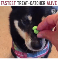 "Alive, Tumblr, and Bear: FASTEST TREAT-CATCHER ALIVE <p><a href=""http://flavors-of-sam.tumblr.com/post/164011370774/cully-bear-theselfishknitter-theyre-so"" class=""tumblr_blog"">flavors-of-sam</a>:</p><blockquote> <p><a href=""http://cully-bear.tumblr.com/post/164010554337/theselfishknitter-theyre-so-talented-hes"" class=""tumblr_blog"">cully-bear</a>:</p>  <blockquote> <p><a href=""http://theselfishknitter.tumblr.com/post/164010239187/theyre-so-talented"" class=""tumblr_blog"">theselfishknitter</a>:</p>  <blockquote><p>They're so talented!</p></blockquote>  <p>He's such a good boy</p> </blockquote>  <p>!!!!!!!!!!!!!!</p> </blockquote>"