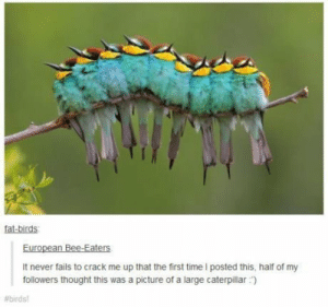 Omg, Tumblr, and Birds: fat-birds  European Bee-Eaters  It never fails to crack me up that the first time l posted this, half of my  followers thought this was a picture of a large caterpillar)  The Illusions of Natureomg-humor.tumblr.com
