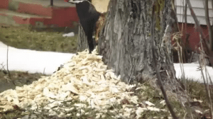 Fucking, Tumblr, and Blog: fat-mabari: setbabiesonfire:  becausebirds:  Fuck this tree in particular. [source video]  why birb why  that has to be the angriest fucking woodpecker I haver ever seen