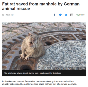 rat: Fat rat saved from manhole by German  animal rescue  4 hours ago  Share  BERUFSTIERRETTUNG RHEIN NECKAR  The unfortunate rat was almost -but not quite small enough for its bothole  In the German town of Bensheim, rescue workers got an unusual call a  chubby rat needed help after getting stuck halfway out of a sewer manhole.