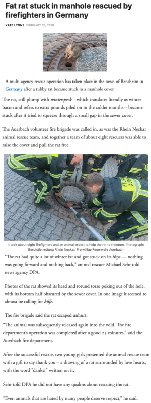 "Animals, Fire, and Girls: Fat rat stuck in manhole rescued by  firefighters in Germany  KATE LYONS FEBRUARY 27, 2019  A multi-agency rescue operation has taken place in the town of Bensheim in  Germany after a tubby rat became stuck in a manhole cover.   The rat, still plump with winterspeck - which translates literally as winter  bacon and refers to extra pounds piled on in the colder months became  stuck after it tried to squeeze through a small gap in the sewer cover.  The Auerbach volunteer fire brigade was called in, as was the Rhein Neckar  animal rescue team, and together a team of about eight rescuers was able to  raise the cover and pull the rat free.   It took about eight firefighters and an animal expert to help the rat to freedom. Photograph:  Berufstierrettung Rhein Neckar/ Freiwillige Feuerwehr Auerbach   The  rat  had  quite  a  lot  of  winter  fat  and  got  stuck  on  its  hips  _nothing  was going forward and nothing back,"" animal rescuer Michael Sehr told  news agency DPA  Photos of the rat showed its head and rotund torso poking out of the hole,  with its bottom half obscured by the sewer cover. In one image it seemed to  almost be calling for hilfe.  The fire brigade said the rat escaped unhurt.   ""The animal was subsequently released again into the wild. The fire  department's operation was completed after a good 25 minutes,"" said the  Auerbach fire department.  After the successful rescue, two young girls presented the animal rescue teanm  with a gift to say thank you- a drawing of a rat surrounded by love hearts  with the word ""danke!"" written on it.  Sehr told DPA he did not have any qualms about rescuing the rat.  ""Even animals that are hated by many people deserve respect,"" he said. True story"