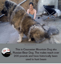 FB.COM/DESIFUN  This is Caucasian Mountain Dog aka  Russian Bear Dog. The males reach over  200 pounds and have historically been  used to hunt bears