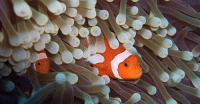 Be Like, Memes, and Sex: fb.com/natureblowsmymind  Like many species of reef fish, clown fish can, and frequently do, change sex. Unlike most species of reef fish however, all clown fish are born male and are led (in familial groups) by a dominant female.  When she dies, the next-biggest male simply ... becomes female and takes charge of the group.  What you just heard was the sound of a billion other species slapping themselves on the forehead at the same time, wondering why they didn't think of that, realizing it's now too late and that now they'd just be, like, hopping on the trend.