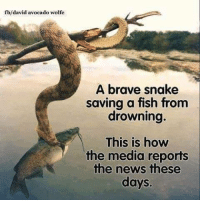 fb/david avocado wolfe  A brave snake  saving a fish from  drowning.  This is how  the media reports  the news these  days.