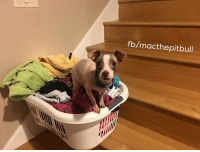 Laundry, Memes, and Bulls: fb/macthepit bull Nothin to see here folks. I am not snuggling into this basket of clean laundry. Pish posh!!   My grunts are on a rescue mission right now and these two pups will need ALL of your support to pull them through. They are in horrible shape. Updates soon.   Smoochies, Pinky Dobby Girl