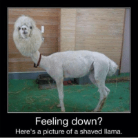 shaved llama: Feeling down?  Here's a picture of a shaved llama.