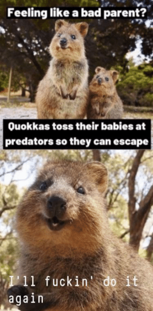 Quokka don't give a fuck: Feeling like a bad parent?  Ouokkas toss their babies at  predators so they can escape  I11 fuckin do it  again Quokka don't give a fuck
