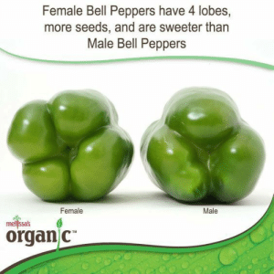 Tumblr, Blog, and Com: Female Bell Peppers have 4 lobes,  more seeds, and are sweeter than  Male Bell Peppers  Female  Male  mellssas  organ C fckmeintheassihatethisname: koshurfrank: If you've ever put a 3 lobe pepper in your mouth, you're gay. F E L L A S ….
