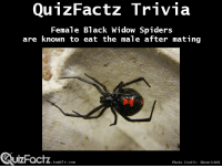 """<p><a class=""""tumblr_blog"""" href=""""http://quizfactz.tumblr.com/post/94369834736/deadly-mates-black-widow-spider-video-youtube"""" target=""""_blank"""">quizfactz</a>:</p> <blockquote> <p>Deadly Mates: Black Widow Spider video</p> <p>(<a href=""""https://www.youtube.com/watch?v=wcdKlgFOPsQ"""" target=""""_blank"""">Youtube</a>)</p> </blockquote>: Female Black Widow Spiders  are known to eat the male after mating  UIZFacTZ tumblr com  Photo Credit: Shenrich91 <p><a class=""""tumblr_blog"""" href=""""http://quizfactz.tumblr.com/post/94369834736/deadly-mates-black-widow-spider-video-youtube"""" target=""""_blank"""">quizfactz</a>:</p> <blockquote> <p>Deadly Mates: Black Widow Spider video</p> <p>(<a href=""""https://www.youtube.com/watch?v=wcdKlgFOPsQ"""" target=""""_blank"""">Youtube</a>)</p> </blockquote>"""