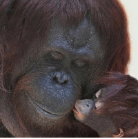 Children, Food, and Memes: Female orangutans are amongst the most committed single mothers in the animal kingdom. They have a baby once every nine years. For the first two years, the young orangutan is entirely dependent on their mothers for food and getting around. Orangutan mothers and their children share close bonds as they are nearly inseparable for 10 years and are breastfed until age 8. Children learn everything from their mothers, including how to look for food and build nests before eventually leaving to make it out on their own. Hopefully, all those orangutan children remember to call their mothers sometime. 📷 Jenny B- Pinterest motherhood orangutan science