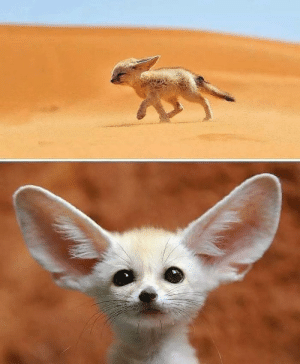 Dessert, Helps, and Fox: Fennec Fox and lives in the Sahara Desert. His big ears have 2 main functions. First of all it serves as a great hearing device, even able to hear preys underground. But it also helps to dissipate the enormous heats of the dessert