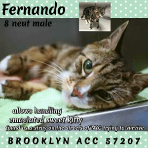 Anaconda, Cats, and Click: Fernando  8 neut male  allows handiing  ema  found as a stray on the streets ot NYC trving to survive  BROOKLYN. A CC. 5,7 207 BROOKLYN ACC ADOPTABLE   Fernando 57207   8 yr. neutered brown tabby/white, stray:  INTAKE INFO / OWNER PROFILE:   Date of Intake  16-Mar-2019  Basic Information: Fernando is a brown tabby and white male cat that was brought to the center as a stray.     Behavior Notes: Behavior upon intake: Fernando came out of the carrier by himself and allowed to be scanned and collared. He was relaxed throughout the process and kept walking around. Fernando leaned his head when petting and kept giving head-butts to the carrier and counselor's hand. He was interested in the food that was offered. Fernando scanned negative for a microchip.     MEDICAL:     Medical History Report  2336 Linden Boulevard Brooklyn NY 11208 212-788-4000        Animal ID  Name  Type  Mixed  Color(1)  Color(2)  Gender     57207  Fernando  Cat  Yes  Brown Tabby  White  Male     Spayed / Neutered  Age  Primary Microchip #  Rabies Tag  Weight  Spay / Neuter Due Date  Temperature     Yes  8 Years  985113002487204  5 lbs 15 oz              Veterinary Clinic Software Record #:     Weight:   5 lbs 15 oz     Date of Weighing:   3/16/2019        Date Spayed / Neutered:     Schedule Surgery Date:        Stitches Removal Date:           Clinic Name:        Previously Spayed / Neutered:    Yes     General Vet Notes:        Previous Medical Details:        Known Allergies or Medical Conditions:        Feeding Requirements:            Indemnities/Waivers:         Medical Notes  Notes  Date  No Medical Notes Stored  Vet Treatments  Date Administered  Vet Treatment Type  Route of Administration  Treatment Result  Administered by External Vet  3/16/2019  Re-weigh     3/16/2019  Rabies  SQ  3/16/2019  Microchip Implantation     3/16/2019  Internal Parasite Treatment - Pyrantel     3/16/2019  Gabapenth (50 Mg/Ml)     3/16/2019  Fvr-Cp 1 Of 2     3/16/2019  Flea/Tick Treat