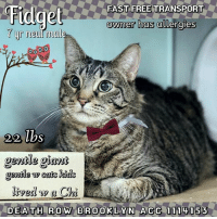TO BE KILLED  6/21/17  The allergy excuse is out of control! Hence why fantastic Fidget is here! Now this hunk of love wants to show you there's a whole lotta him to love! And how could you not with that face? He came in with Lola, who was saved, and he is hoping he can have the same fate!  FIDGET A1114153 BROOKLYN ACC ESTIMATED TO BE 7 YEARS, 22.2 LBS GRAY TABBY AND WHITE DOMESTIC SHORT HAIR, NEUTERED MALE OWNER SURRENDER FROM NY, 11373, ALLERGIES INTAKE 6/9/17 CAME IN WITH LOLA A1114155 (SAFE)   06/20/2017 AT RISK MEMO Fidget A1114153 is at risk due to URI diagnosis.  MOST RECENT MEDICAL INFORMATION AND WEIGHT 06/19/2017 Exam Type BS NEW URI – Medical Rating is 3 C – MAJOR CONDITIONS , Behavior Rating is EXPERIENCE, Weight 22.2 LBS.  Hx; Monitoring URI. Sneezing Obj BCS 9/9 EENT- NAF Ms- NAF Abdomen- NAF Lymph nodes- NAF Neuro- NAF Plan 2 ml doxycycline sid po for 10 days move to isolation  06/04/2017 PET PROFILE MEMO 06/04/17 14:24 Basic information: Fidget is a 7 year old Gray Tabby Neutered DSH. His owner found him as a stray when he was a kitten. Fidgets owner needs to surrender him and another cat Lola because of asthma and allergies the kids and herself suffers from. Fidget has no known health problems or injuries; he has not seen a vet recently. Socialization: Around strangers fidget is shy for a few minutes, he will come around after a little while. He has lived and spent time with children ages 2 years old and up; around them he is relaxed, and affectionate. When playing with adults or children fidget is gentle; he has lived and spent time with another cat Lola. When around her he is relaxed, respectful, and gentle. Fidget has also lived and spent time with a dog (Chihuahua); he is relaxed, and respectful with him. Fidget has no bite history. Behavior: Fidget is house trained; he will have litter box accidents when the litter box isn't cleaned. He has had a history of scratching furniture in the home; Fidget has not been in a car ride. Fidget has not had 