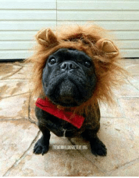 Christmas, Facebook, and Halloween: FIENCHBULLDOGRESCUE.016 RAWR!!! I es a scary lion!!!  BOL. Jus kidding, it es me, FBRN foster Magnus. I hope I didn't scare you too much.  Now that Halloween es almost over, I can start plannin' for Christmas! I es super excited for the Holiday Auction, es you goin too? The monies raised goes towards helping foster frenchies like me. RSVP here so you don't miss out: https://www.facebook.com/events/560656137453338/