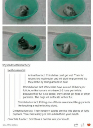 The Earth versions of a Poppler.omg-humor.tumblr.com: fiftyshadesofdebauchery  kvotheunkvothe  Animal fun fact Chinchillas can't get wet. Their fur  retains too much water and will start to grow mold. So  they bathe by rolling around in dust.  Chinchilla fun fact. Chinchillas have around 20 hairs per  follicie; unlike humans who have 2-3 hairs per follicle  Because their fur is so dense, they cannot get fleas or other  parasites. The bugs will suffocate in their fur  Chinchilla fun fact. Petting one of those awesome little guys feels  like touching a motherfucking cloud.  Chinchilla fun fact Their newborn babies are like little pieces of fluffy  popcorn. You could easily just toss a handful in your mouth  Chinchilla fun fact: Don't toss a handful into your mouth  567,495 notes The Earth versions of a Poppler.omg-humor.tumblr.com