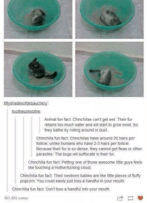 Chinchilla fun factsomg-humor.tumblr.com: fiftyshadesofdebauchery  kvotheunkvothe  Animal fun fact: Chinchillas can't get wet. Their fur  retains too much water and will start to grow mold. So  they bathe by rolling around in dust.  Chinchilla fun fact: Chinchillas have around 20 hairs per  follicle, unlike humans who have 2-3 hairs per follicle.  Because their fur is so dense, they cannot get fleas or other  parasites. The bugs will suffocate in their fur.  Chinchilla fun fact Petting one of those awesome little guys feels  like touching a motherfucking cloud.  Chinchilla fun fact Their newborn babies are like little pieces of fluffy  popcorn. You could easily just toss a handful in your mouth.  Chinchilla fun fact: Don't toss a handful into your mouth.  567,495 notes Chinchilla fun factsomg-humor.tumblr.com