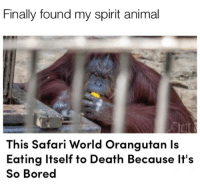 Bored, Phone, and Animal: Finally found my spirit animal  This Safari World Orangutan ls  Eatina Itself to Death Because It's  So Bored dump clearing my phone finale