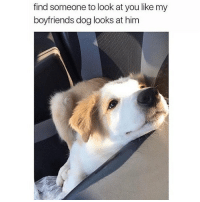 @hilarious.ted is my favorite animal memes page 💕😩🙌🏼 honestly LOOK AT THIS ANGEL FLUFF 😍😍😍: find someone to look at you like my  boyfriends dog looks at him @hilarious.ted is my favorite animal memes page 💕😩🙌🏼 honestly LOOK AT THIS ANGEL FLUFF 😍😍😍