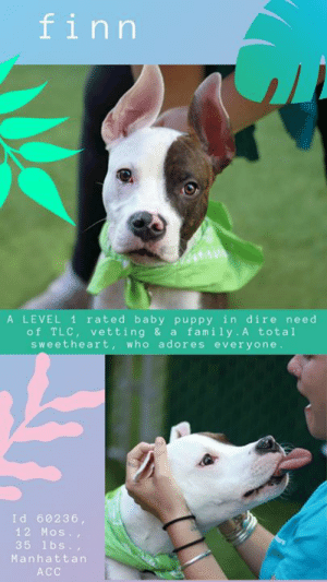 "Apparently, Beautiful, and Click: finn  A LEVEL 1 rated baby puppy in dire need  of TLC, vetting & a family. A total  sweetheart, who adores everyone.  Id 60236  12 Mos.,  35 1bs.,  Manhattan  ACC TO BE KILLED 6/15/19  *** IN ISO – POSSIBLY PNEUMONIA *** Sweet, Level 1 rated puppy FINN needs a foster or adopter ASAP so he can get the veterinary care he needs!  Adopted in April, returned in June due to his medical issues, sweetheart Finn isn't feeling too well…. This poor sweet boy has CIRDC, possibly Pneumonia, and he has swollen salivary glands, a painful condition that has not yet been diagnosed fully! This poor baby is so sweet – barely a year old, and full of joy despite his pain. He's LEVEL 1 rated too – the very best score you can get. As a staff member writes: ""Rock star? More like Cuddle Buddy. Rock star is the sweetest puppy I have met so far. He loves to curl up in your lap and pretend to be way smaller than he actually is. He is also very playful. Although toys may not be his thing, warm hugs and genuine love will satisfy him more than toys ever will. With those big beautiful ears you can tell that he is always searching for a new play mate. Come into the Manhattan ACC today and meet this wonderful boy. I guarantee that you will fall in love instantly."" Please don't let him sit there a minute longer in pain and sick. If you can foster or adopt Finn, hurry and Message our page or email us at MustLoveDogsNYC@gmail.com for assistance. Remember, if you foster, the rescue that pulls pay medical.   MY MOVIES  Seven, Samosa and Rock Star aka Finn  https://youtu.be/9n_vk86r2rk  Belly and Rock Star aka Finn  https://youtu.be/pgqt6LRIyrc  FINN aka ROCK STAR, ID# 60236, 12 Mos., 35 lbs., Neutered Male Manhattan ACC, Medium Mixed Breed, Brown / White  Owner Surrender Reason:  Shelter Assessment Rating: LEVEL 1 Medical Behavior Rating:   MEDICAL EXAM NOTES   8-Jun-2019 Per Dr. 1379 this patient was administered 1ml of Buprenorphine at 9:33 pm on 6/7  7-Jun-2019 Tech Exam. Temp: 101.7 F at 2:50 PM  7-Jun-2019  Progress Exam. Subjective Observations: hx of pneumonia and mandibular swelling. Had work up at referral hosp and cause of mandibular swelling has not been diagnosed definitively. Ate well overnight. BAR in kennel. Large, firm painful mandibular swelling rostral mandible. Dried mucoid nasal d/c present at both nares. Assessment: CIRDC +/-pneumonia, mandibular swelling.  PLAN:  Sedated mandible and chest rads. Chest rads no apparent consolidation of lung lobes. R/o pneumonia responsive to treatment. Lateral and VD skull rads show large lytic bone lesion on mandible. R/o infection v neoplasi v inflammatory. rec bone biopsy v continue treatment.  7-Jun-2019  Tech Exam. Sedated Finn with 0.3 mL butorphanol, 0.3 mL dexdomitor and 0.2 mL midazolam IM at 10:33 AM as per DVM 1697 for chest and jaw radiographs. Administered additional 0.3 mL dexdomitor at 11:07 AM. Uploaded rads to SB.  6-Jun-2019  Blood Work Interpretation. CBC: -Monocytosis (severe)-r/o chronic infection vs. inflammation vs. neoplasia, -Eosinopenia, Chemistry: -Hyperphosphatemia, -Hypochloremia, -Hyperglobulinemia.  6-Jun-2019  Tech Exam. Per Dr. 1379, did not administer Pyrantel and Trazadone due to oral condition.  6-Jun-2019  Tech Exam. Administered Buprenorphine 0.3 mg/ml 1ml IM @ 6:40PM. Administered Clavamox 250 mg 1T in vienna sausage and Enrofloxacin 204 mg 1T in vienna sausage. Performed CBC/Chem.   6-Jun-2019  DVM Intake Exam. Estimated age: 1 year. Microchip noted on Intake? Yes, previously placed at MACC. Microchip Number (If Applicable): History : Owner surrender. Adopted back in April. When adopted he had a fever, swollen jaw with blood-tinged saliva, a cough and red eyes. Was taken to vet and also specialty clinic (see uploaded documents). He was diagnosed with pneumonia and tested positive for Boredetella, Herpesvirus, pneumovirus and Respcorona virus. He was hospitalized for a few days on IV fluids, antibiotics and nebulization. Eventually was sent home on oral antibiotics (Clindamycin, enrofloxacin) and Rimadyl. A sedated oral exam was performed and possible FNA and cytology was performed of jaw swelling? (no records of results). Subjective: BAR. Observed Behavior -Very friendly. Wagging his tail. Interested in Vienna sausages and eventually eats them but he is having trouble with mastication and food falls from mouth. Evidence of Cruelty seen -No. Evidence of Trauma seen -No. Objective: T =103 F, P =120 bpm, R =eup, BCS 4/9. EENT: Moderate episcleral injection OU, ears clean, mild to moderate nasal discharge noted.  Oral Exam: Severely swollen lower jaw, holds mouth slightly open, mild blood-tinged saliva associated with mandibular teeth, trouble with mastication of food, interested in eating but food falls from his mouth, painful on opening of oral cavity, limited rom of jaw.  PLN: No enlargements noted. H/L: NSR, NMA, CRT < 2, harsh BV sounds, no obvious crackles or wheezes, actively coughing, no sneezing. ABD: Non painful, no masses palpated. U/G: M/N. MSI: Ambulatory x 4, skin free of parasites, no masses noted, healthy hair coat. CNS: Mentation appropriate - no signs of neurologic abnormalities. Rectal: Clean externally. Assessment: -Swollen mandible, trouble with mastication, painful when mouth is opened, limited rom. -Coughing, nasal discharge-r/o CIRDC vs. pneumonia vs. other, -Fever, -Episcleral injection, -Low appetite reported, Prognosis: Fair to good. Plan: -CBC/chem, -Clavamox 250 mg PO BID x 14 days to start (gave first dose this evening, may need to extend past clinical resolution, should be extended for at least 2 weeks past clinical resolution). -Enrofloxacin 204 mg PO SID x 14 days (gave first dose this evening, also may need to extend). -Buprenex 1 mL IM given, -Continue Buprenex 1 mL SQ (0.02 mg/kg dose) BID until otherwise directed, -Move to medical iso, -Needs sedated x-rays tomorrow of jaw and CXR and also a sedated oral exam +/-FNA and cytology of jaw swelling, -May need further work-up at specialty clinic pending blood work and x-rays and other diagnostics. SURGERY: Already neutered  -----------------------------------------------  NOTES FIRST STAY / Intake 17-Apr-2019   ROCK STAR, ID# 60236, Unaltered Male Manhattan ACC,, Medium Mixed Breed, Brown / White  Surrender Reason: Found Stray / brought in by police, 4/17/2019 Shelter Assessment Rating: LEVEL 1 Medical Behavior Rating:   SHELTER ASSESSMENT SUMMARIES: Date of assessment: 18-Apr-2019  Leash Walking Strength and pulling: None Reactivity to humans: None Reactivity to dogs: None Leash walking comments: None  Sociability Loose in room (15-20 seconds): Highly social Call over: Approaches readily Sociability comments: Body soft, stays by assessor, jumps up and licks assessor's face  Handling  Soft handling: Seeks contact Exuberant handling: Seeks contact Comments: Body soft, leans into pets  Arousal Jog: Follows (loose) Arousal comments: None  Knock: Approaches (loose) Knock Comments: None  Toy: No response Toy comments: None   PLAYGROUP NOTES - DOG TO DOG SUMMARIES:  4/17-4/19: When introduced off leash to male and female dogs, Rockstar engages in exuberant play with all.   MEDICAL BEHAVIOR: Date of initial: 17-Apr-2019 Summary: Active, allowed handling  ENERGY LEVEL: We have no history on Smasher so we cannot be certain of his behavior in a home environment. However, he is a young, enthusiastic, social dog who will need daily mental and physical activity to keep him engaged and exercised. We recommend long-lasting chews, food puzzles, and hide-and-seek games, in additional to physical exercise, to positively direct his energy and enthusiasm.   BEHAVIOR DETERMINATION Level 1 Behavior Asiloma H - Healthy  MEDICAL EXAM NOTES 7 FIRST STAY   7-May-2019  Tech Exam, unable to do vet treatment due to offsite in vet hospital  2-May-2019  Tech Exam. Vet treatments (Da2pp annual, pyrantel, reweigh) skipped 5/2/19 due to patient being off-site at Vet Hospital  29-Apr-2019  Progress Exam. Received call from DVM at Manhattan Vet Group (212-988-1000). Owners report: -Nasal discharge, moist cough, red eyes x 1 week. -Anorexia x 1 day, -Red tinged, malodorous drool, -Discomfort when touching face DVM findings: -Dehydrated, -swollen chin, -nasal, discharge, -harsh lung sounds, -104.3 F temp, -QAR -hypersalivating, -suspect pneumonia, Needs: rads, sedated oral exam, further hospitalization Forwarded info to Placement Senior Mana, ement for follow up  20-Apr-2019  Spay/Neuter Summary, Pre-surgical exam, anesthesia, and surgery performed by ASPCA. Green linear tattoo placed lateral to incision. Start on 1 tablet of rimadyl 75 mg SID PO for 2 days.  17-Apr-2019  DVM Intake Exam. Estimated age: 7months year based on condition of teeth. Microchip noted on Intake? no. Microchip Number (If Applicable): N/A. History : stray brought in by police. Subjective: BAR, Observed Behavior -relaxed body posture; energetic; wants to lick and lick. Evidence of Cruelty seen - no. Evidence of Trauma seen - no. Objective: P =120hr, R =40rr, BCS 7/9. EENT: Eyes clear, ears clean, no nasal or ocular discharge noted. Oral Exam: NSF. PLN: No enlargements noted. H/L: NSR, NMA, CRT < 2, Lungs clear, eupnic. ABD: Non painful, no masses palpated U/G: MI w/ 2 down. MSI: Ambulatory x 4, skin free of parasites, no masses noted, healthy hair coat. CNS: Mentation appropriate - no signs of neurologic abnormalities. Assessment: apparently healthy. Prognosis: good. Plan: complete intake procedures SURGERY: Okay for surgery   17-Apr-2019  LVT Intake. Microchip Scan: negative, placed. Evidence of Cruelty: no. Observed Behavior: allows all handling  Sex: intact male. Estimated Age: reported ~1y Subjective: Stray, no history, seemingly healthy. Eyes: clear. Ears: clean. Oral Exam: no staining. Heart: WNL Lungs: WNL. Abdomen: WNL. Musculoskeletal: WNL  BCS 5.5/9. Mentation: BARH. Preliminary Assessment: seemingly healthy. Plan: DVM intake  *** TO FOSTER OR ADOPT ***  HOW TO RESERVE A ""TO BE KILLED"" DOG ONLINE (only for those who can get to the shelter IN PERSON to complete the adoption process, and only for the dogs on the list NOT marked New Hope Rescue Only). Follow our Step by Step directions below!   *PLEASE NOTE – YOU MUST USE A PC OR TABLET – PHONE RESERVES WILL NOT WORK! **   STEP 1: CLICK ON THIS RESERVE LINK: https://newhope.shelterbuddy.com/Animal/List  Step 2: Go to the red menu button on the top right corner, click register and fill in your info.   Step 3: Go to your email and verify account  \ Step 4: Go back to the website, click the menu button and view available dogs   Step 5: Scroll to the animal you are interested and click reserve   STEP 6 ( MOST IMPORTANT STEP ): GO TO THE MENU AGAIN AND VIEW YOUR CART. THE ANIMAL SHOULD NOW BE IN YOUR CART!  Step 7: Fill in your credit card info and complete transaction   HOW TO FOSTER OR ADOPT IF YOU *CANNOT* GET TO THE SHELTER IN PERSON, OR IF THE DOG IS NEW HOPE RESCUE ONLY!   You must live within 3 – 4 hours of NY, NJ, PA, CT, RI, DE, MD, MA, NH, VT, ME or Norther VA.   Please PM our page for assistance. You will need to fill out applications with a New Hope Rescue Partner to foster or adopt a dog on the To Be Killed list, including those labelled Rescue Only. Hurry please, time is short, and the Rescues need time to process the applications."